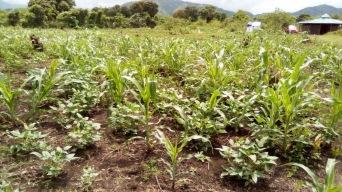 The garden and flourishing peanut plants